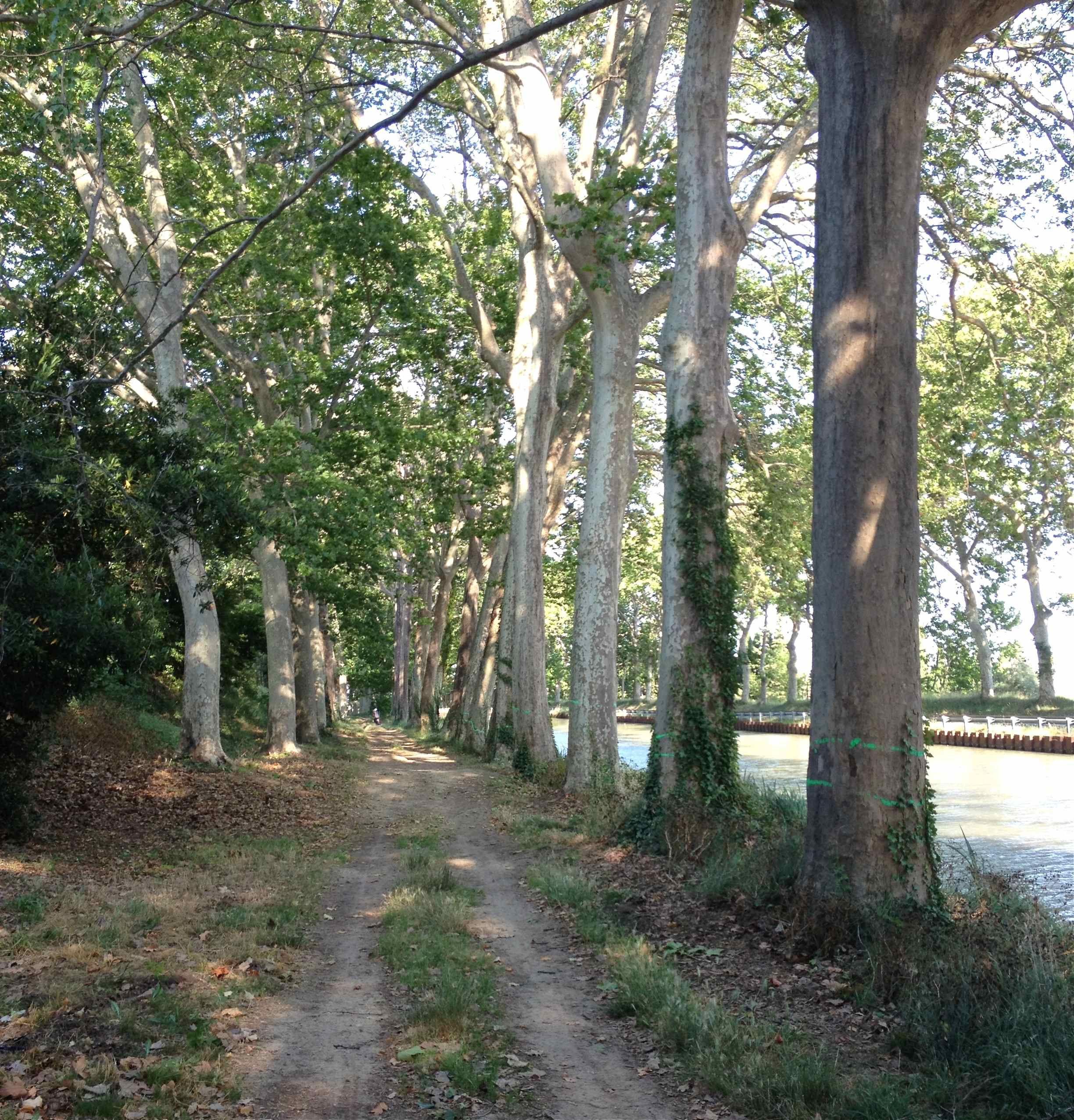 Marked Plane trees on Canal du Midi